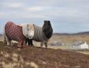 İskoçya'nın kazak giyen midillileri